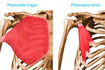 göğüs kası pectoralis major vücut ağırlığı ile çalıştırılması