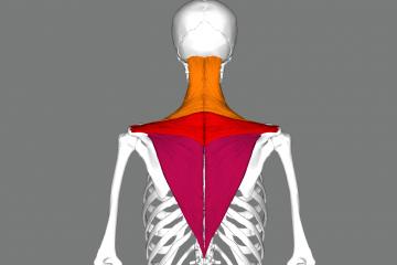 trapez kasinin gorunum ve postur etkisi